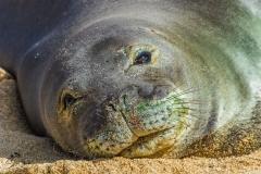 Monk Seal Gaze