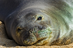 Monk Seal Gaze